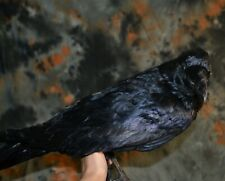 Stuffed Raven Taxidermy without stand