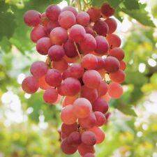 5Catawba Grape SeedsGiant RedGreat Tasting Usa Seller Free Shipping.