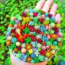 4ever Live Mini Sempervivum Plants Mixed Garden Succulent Cactus Perennial Seeds