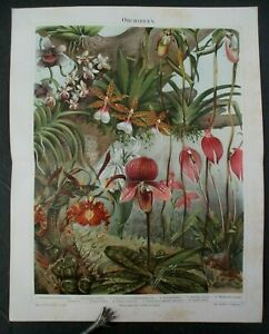 Antique 1896 German Chromolithograph ORCHIDEEN, ORCHID Print
