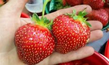 Wild Strawberry SUMMER DROPLET F1 Seeds perpetual red Ukraine 10 seeds