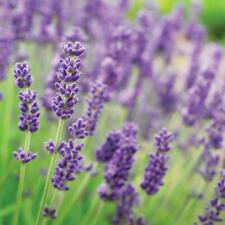 More details for t&m english blue lavender garden hardy patio evergreen flower plants jumbo plugs