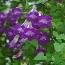 Climbing Snapdragon Asarina Scandens Violet 20 Seeds  Garden Seeds 2u