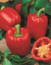 Seeds Sweet Pepper Sir Red Bell Vegetable Organic Heirloom Russian Ukraine