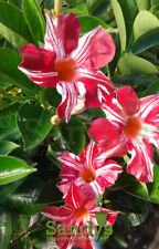 Mandevilla- 'Stars & Strips'  Lot of 2 ~ Starter Plants~