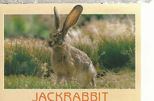 Desert  Jackrabbit    Chrome Postcard 267