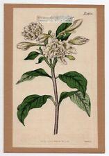 East India Rosebay  Curtis Botanical  Flower 1817 Hand Colored Engraving