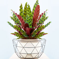 1 x Striking Calathea Insignis 40-50cm Potted Indoor Plant for Home or Office