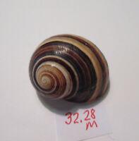 ~ POLYMITA ~ SpEcTaCuLaR Shell ~ 32.28 mm ~ RaRe / Banding Beauty