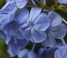 ROYAL CAPE Plumbago auriculata deep-blue long flowers plant in 180mm pot