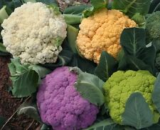 Cauliflower - Four Varieties - RAINBOW - White, Green, Purple, Orange - 50 Seeds