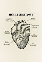 Human Heart Anatomical Graphic Illustration Educational Chart Poster 12x18 inch