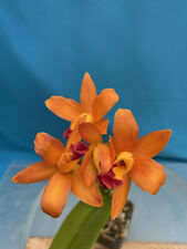Slc Golden Treat 'Svo' X Blc Guess What 'Svo' Am/Aos 3.5� Blooming (15) 7475