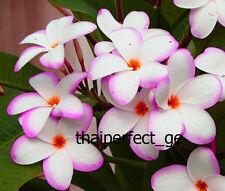 10 Light Blu Purple Plumeria Seeds Plants Flower Lei Hawaiian Perennial Seed 924