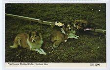PRIZEWINNING SHETLAND COLLIES: Shetland postcard (C20905)