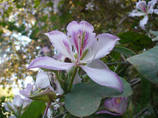 Bauhinia variegata - Orchid Tree - 10 Seeds