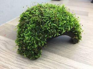 Java Moss Covered Half Coconut. Easy to keep - Shrimp - Aquarium Plant - Cave