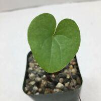 Rare and unique Dioscorea Elephantipes caudex cactus cacti succulent live plant