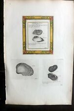 Lister 1823 Rare Folio Antique Shell Print 229-231 Conchology