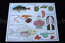 L824 Affiche scolaire ecole poissons perche grenouille tetard Rossignol 90*75cm
