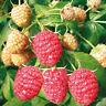 6 Stück junge HIMBEERPFLANZEN, ROT, und gelbe früchte SOMMERTRAGEND,aromatisch