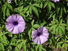 Ipomea  IPOMOEA CAIRICA - PALMATA - 7 Semillas - Flores Garden Samen Semi Flower