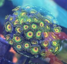 Rasta Zoa. Zoanthids Live Coral. Wysiwyg