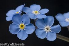 FORGET ME NOT - MYOSOTIS SYLVATICA - 20g  45,000  FINEST FLOWER SEEDS  BULK