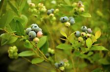 Blueberry Bush - 3 gallon - Established Live Plant With Fruits