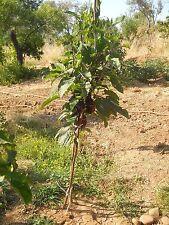 300 SEMI DI SOLANUM TORVUM (senza spine) - Albero delle melanzane