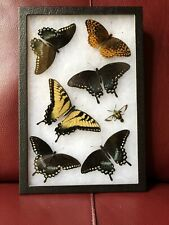 Real North American Framed Butterfly Insect Moth Collection Taxidermy