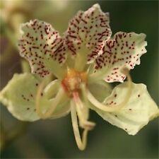 Bauhinia Semla Orchid Tree, B. Retusa, B. Roxburghiana 5 OR 50 Seeds, USA