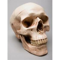 Skeletons and More SM200DA Aged 2nd Class Harvey Skull
