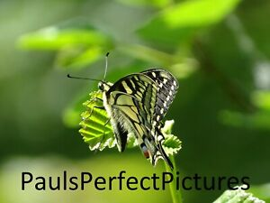 Butterfly Photo Picture In A4  Frame - Swallowtail