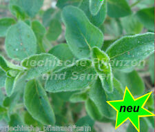 SAUVAGE Majoran 200 graines HERBES + Plante Aromatique pluriannuel méditerranéen