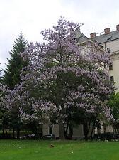 25 Semillas - PAULOWNIA CATALPIFOLIA - Árbol Paulownia - Flor Tree Samen Semi