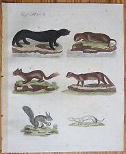 Bertuch: Handcolored Print Marten Weasel - 1799