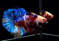 (Unique Color) Premium Live Betta  Male Big Giant Multicolor From Thailand