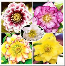 Multi-Colored Japanese Bonsai Helleborus Plants Flowers Garden 100 Pcs Seeds New