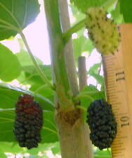 New listing Mulberry Tree, 'Paradise' Variety, 8' Height