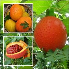 GAC Superfruit 10 Seeds, Momordica cochinchinensis gak fruit rare exotic, Herbs