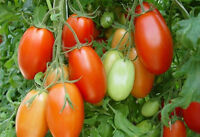 Italian Roma Tomato - The Most Popular Canning and Sauce Tomato - 15 Seeds