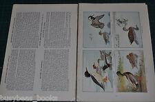 1915 magazine article AMERICAN GAME BIRDS biology Color art ducks shore birds