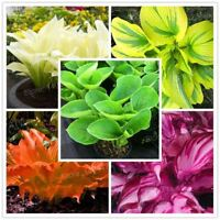 100pcs/bag mixed color Hosta plants Whirl Wind in full shade flower seeds Bonsai