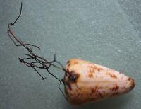 conus caracteritichus 56mm super nice color rare shells  caught May 307 2020