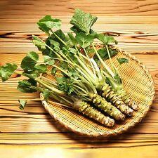 100 x Wasabi Samen Sämereien Japanischer-Meerrettich Samens NEU HOT SELL A2C6