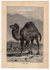 Arabian Dromedary Camel Original c1895 Print