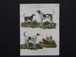 Dogs Stag and Fox Hound, Smooth and Rough Terrier. c.1806 Copper plate Engraving