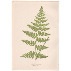 Lowe Exotic Ferns antique 1872 botanical print, Pl 32 Davallia Khasiyana
