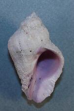 CORALLIOPHILA RADULA 48.53mm BEAUTIFUL SPECIMEN Split Solitary Is, NSW Australia